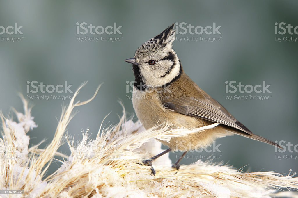 Parus cristatus on a twig stock photo