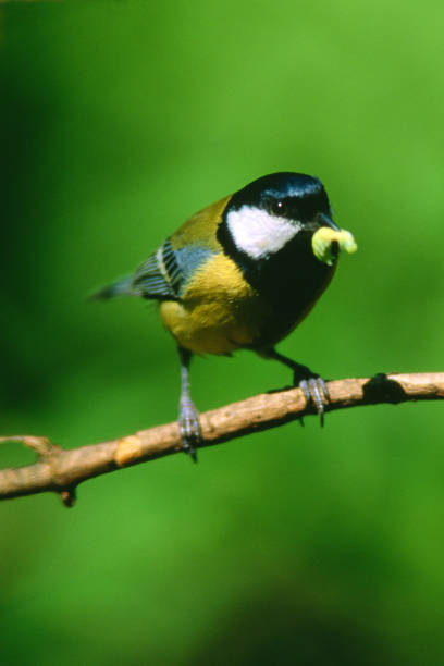 Parus major - Cinciallegra - foto stock