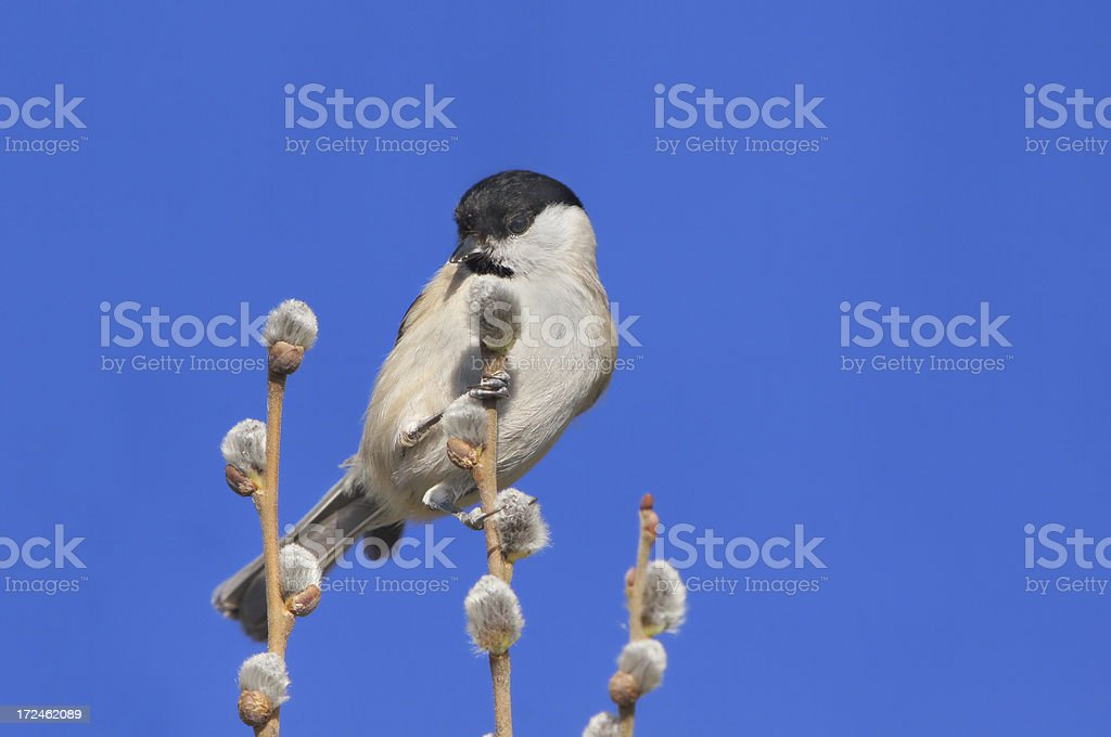 Parus palustris on a twig royalty-free stock photo