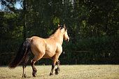 Paso fino horse stallion galloping in summer evening ranch