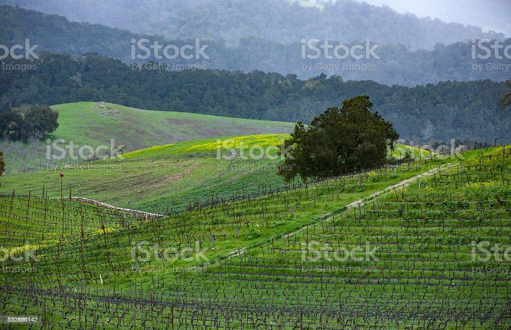 Paso Robles Vineyard stock photo