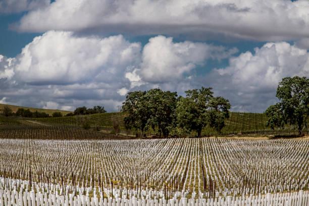 Paso Robles Vineyards stock photo