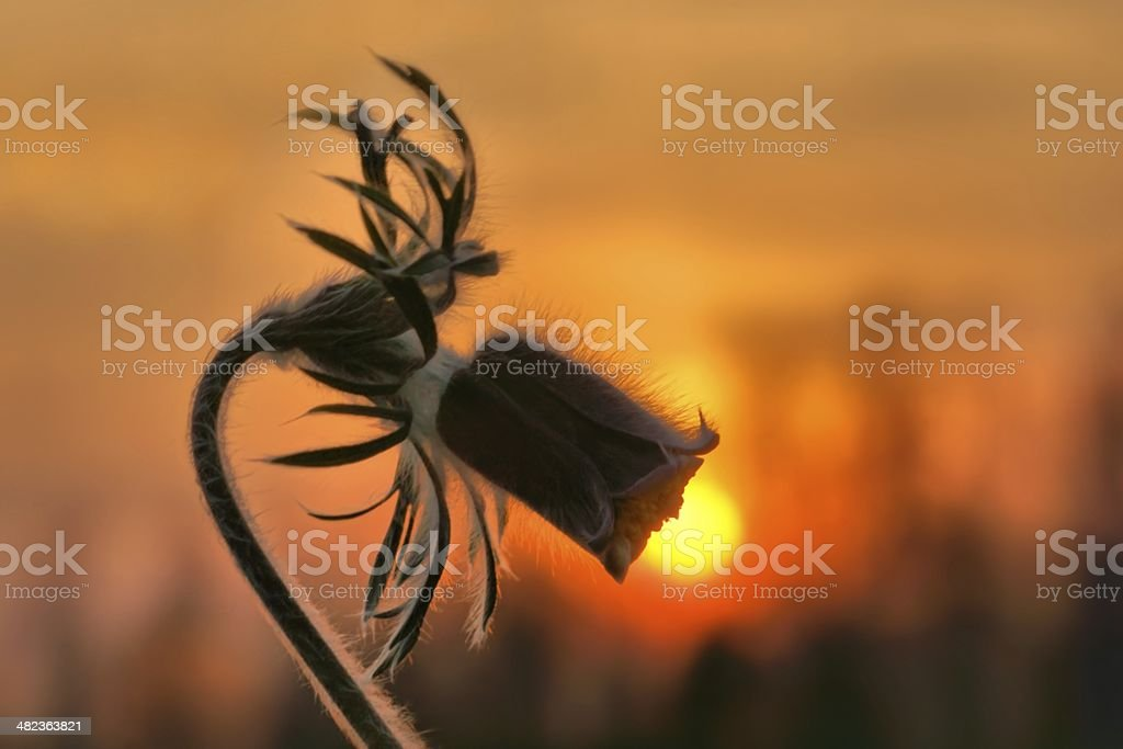 Pasque flower (Pulsatilla vernalis) and sunset as background royalty-free stock photo