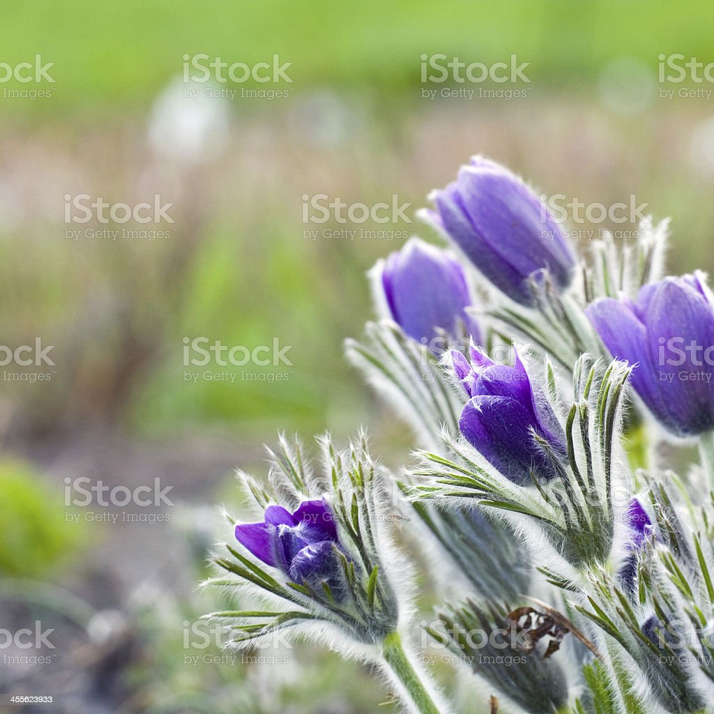 Pasque flower in a sunny day, early spring stock photo
