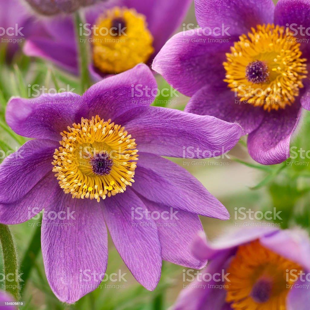Pasque flower (Pulsatilla vulgaris 'Rode Klokke') - V royalty-free stock photo