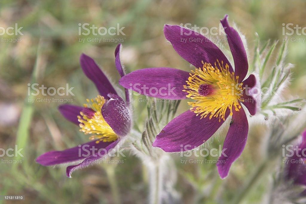 pasque-flower royalty-free stock photo