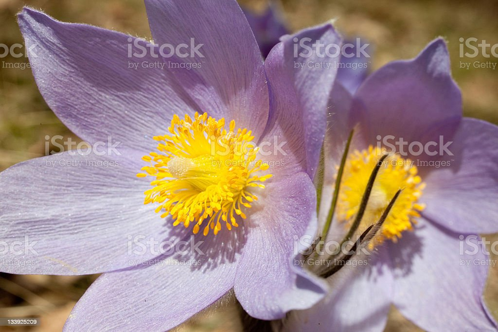 pasqueflowers in the spring forest royalty-free stock photo