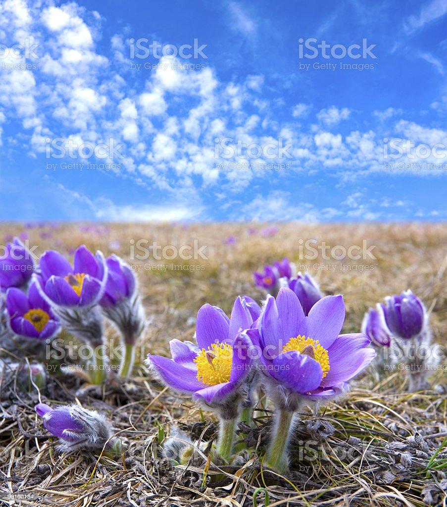 Pasqueflowers royalty-free stock photo