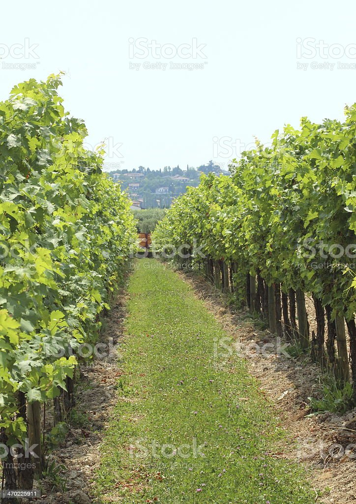 Passage between two rows of wine stock at vineyard royalty-free stock photo