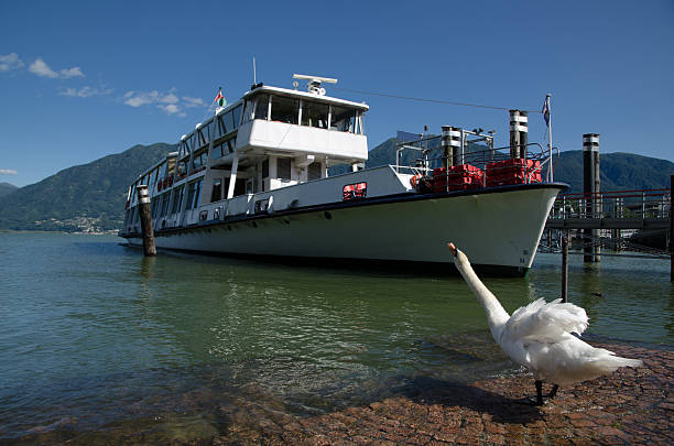 Passenger ship and a happy swan stock photo