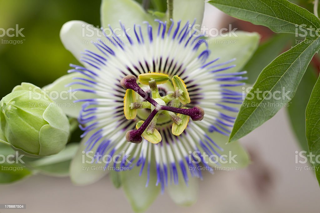 Passiflora Caerulea royalty-free stock photo
