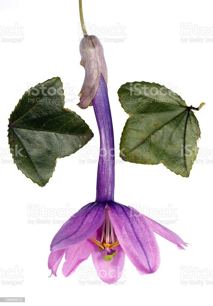 Passiflora cumbalensis royalty-free stock photo