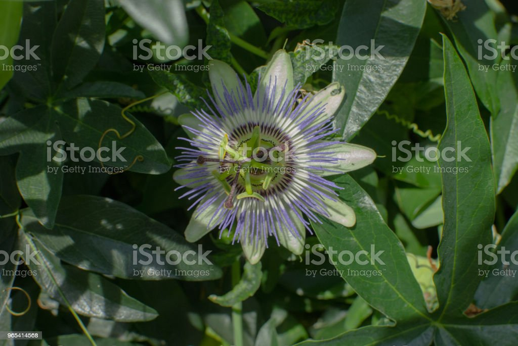 Passiflora or passion flower under the sun royalty-free stock photo