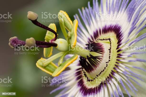 Passiflora Kwiat Pasji - zdjęcia stockowe i więcej obrazów Męczennica