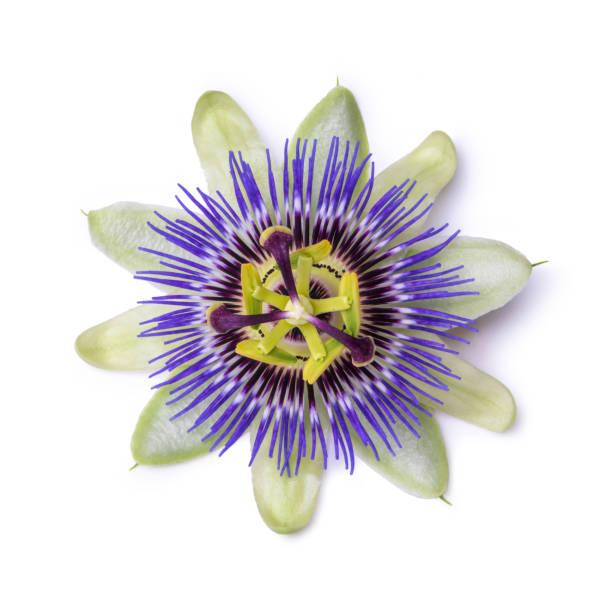 시계 꽃 시계 덩굴 흰색 배경에 고립입니다. 큰 아름 다운 꽃입니다. - 시계꽃속 뉴스 사진 이미지