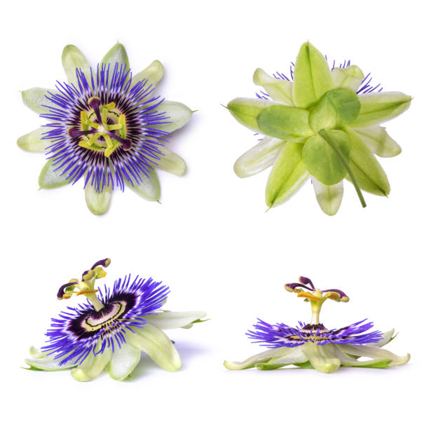 passiflora passionflower isolated on white background. big beautiful flower. - passiflora foto e immagini stock