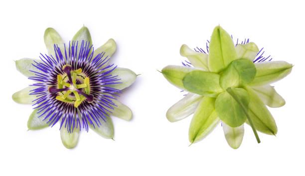 Passiflora passionflower isolated on white background big beautiful picture id900937092?b=1&k=6&m=900937092&s=612x612&w=0&h=js1z4j1hvxkvmlorw407 j3grcgwsngke2sl8mtfbk4=