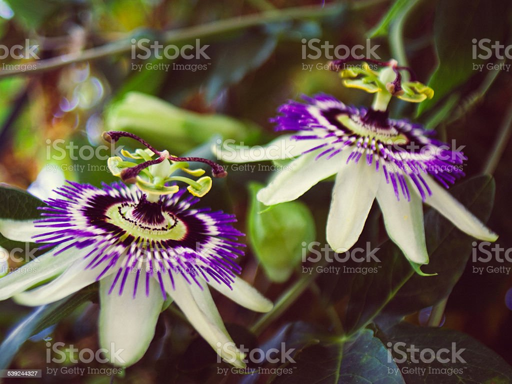 Passiflora royalty-free stock photo