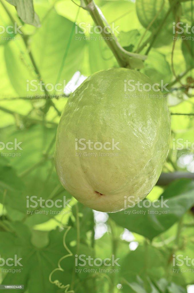 Passiflora quadrangularis royalty-free stock photo