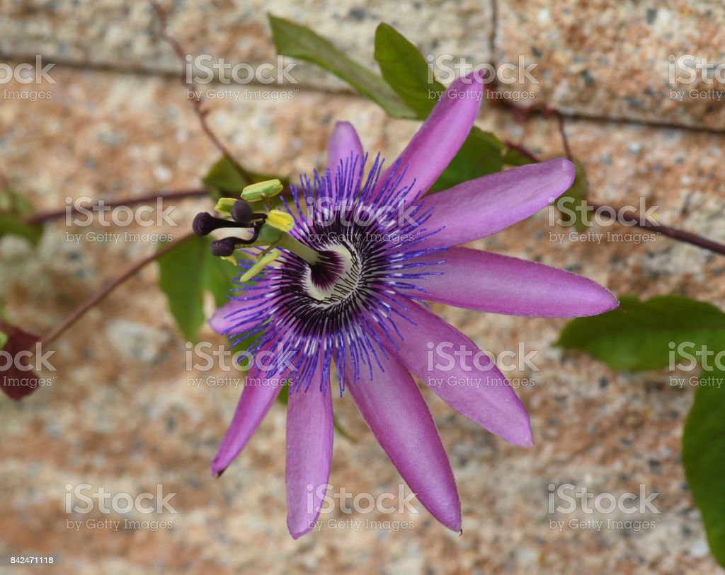 Passiflora violacea stock photo