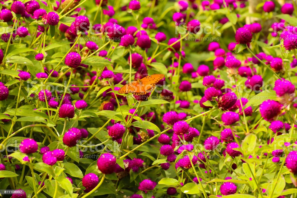 Passion Butterfly in Waimea Valley stock photo