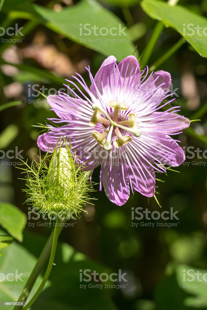 passion flower and bud profile view stock photo