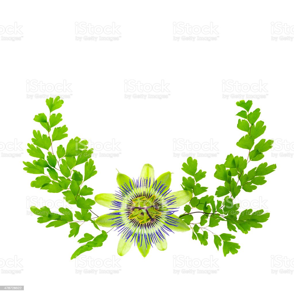 passion flower (passsiflora) and crossed young green fern branch stock photo