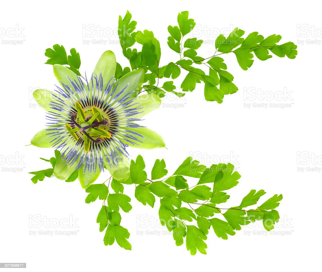 passion flower and crossed young green fern branches is isolated stock photo