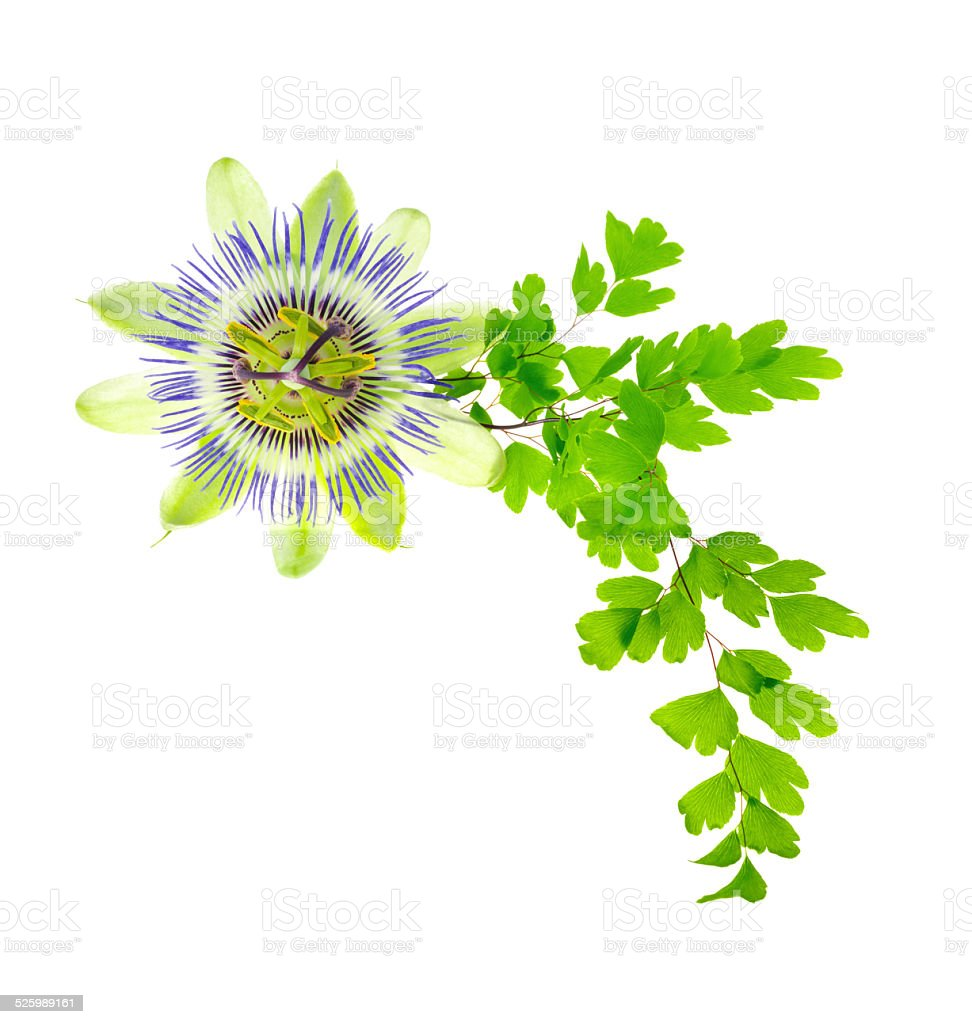 passion flower and young green fern branch isolated on white stock photo