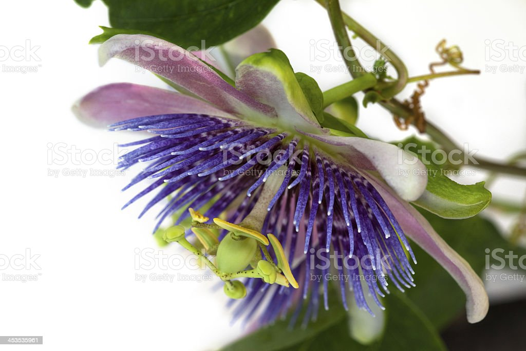 Passion Flower Close-up stock photo