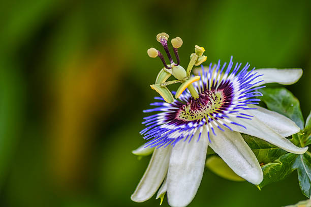 passion flower in bloom close up - 시계꽃속 뉴스 사진 이미지