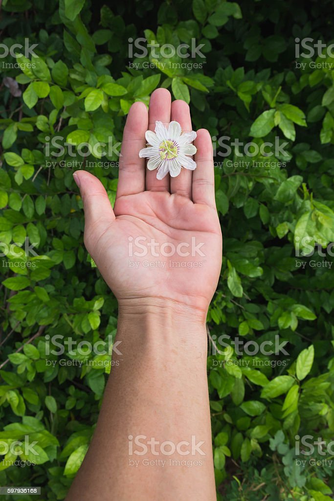 passion flower in hand stock photo