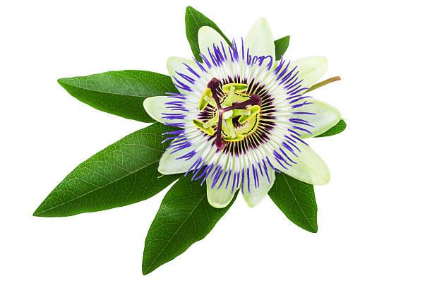 passion flower (passiflora) isolated on white - foderblad bildbanksfoton och bilder