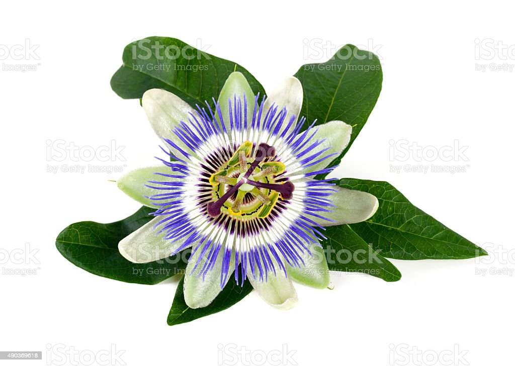 passion flower isolated on white stock photo
