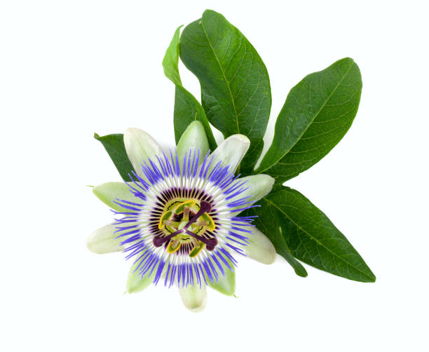 passion flower isolated on white - passiflora foto e immagini stock