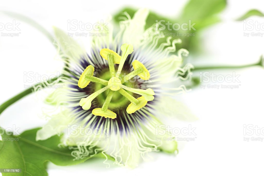 Passion flower of Indian Subcontinent stock photo
