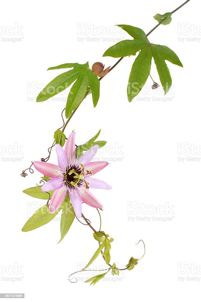 Passion Flower (Passiflora L.) on a white background stock photo