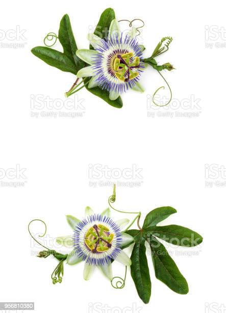 Passion flower on white picture id956810380?b=1&k=6&m=956810380&s=612x612&h=msnbwekug1qgrtniauxm5 swnuu8wnwqqb5gpblwleg=
