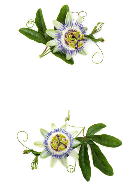 passion flower on white. - passiflora foto e immagini stock