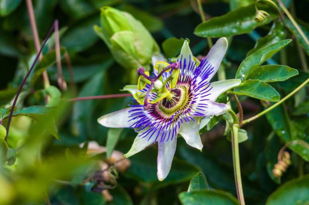 열정 꽃 시계 꽃 꽃 시계 덩굴 녹색 정원 배경 - 시계꽃속 뉴스 사진 이미지