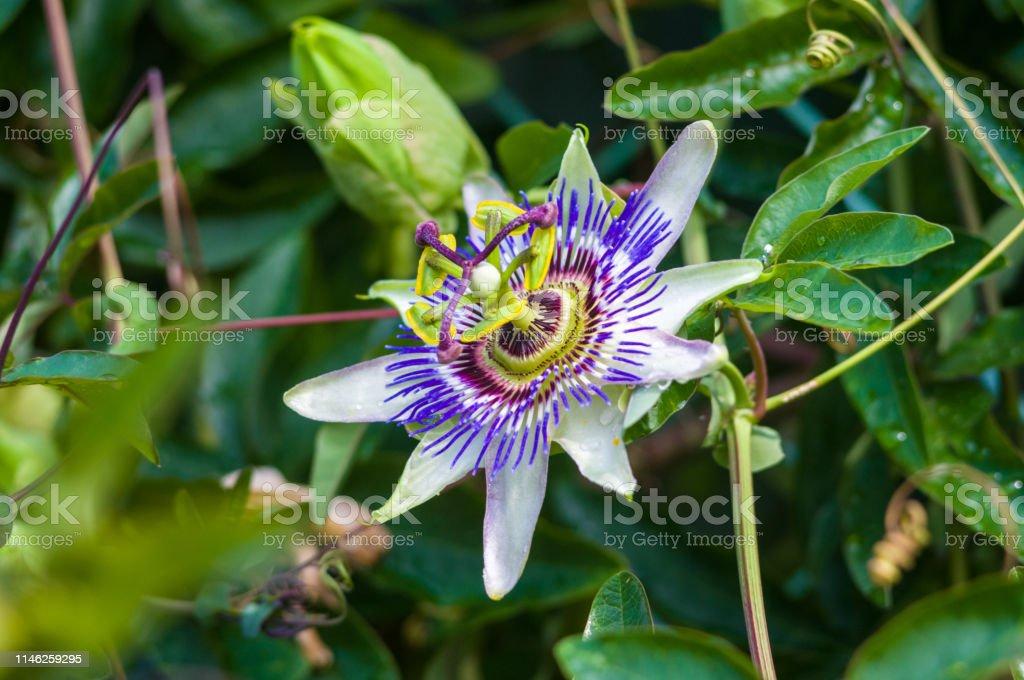 Passion Flower Passiflora Caerulea Passionflower Against Green
