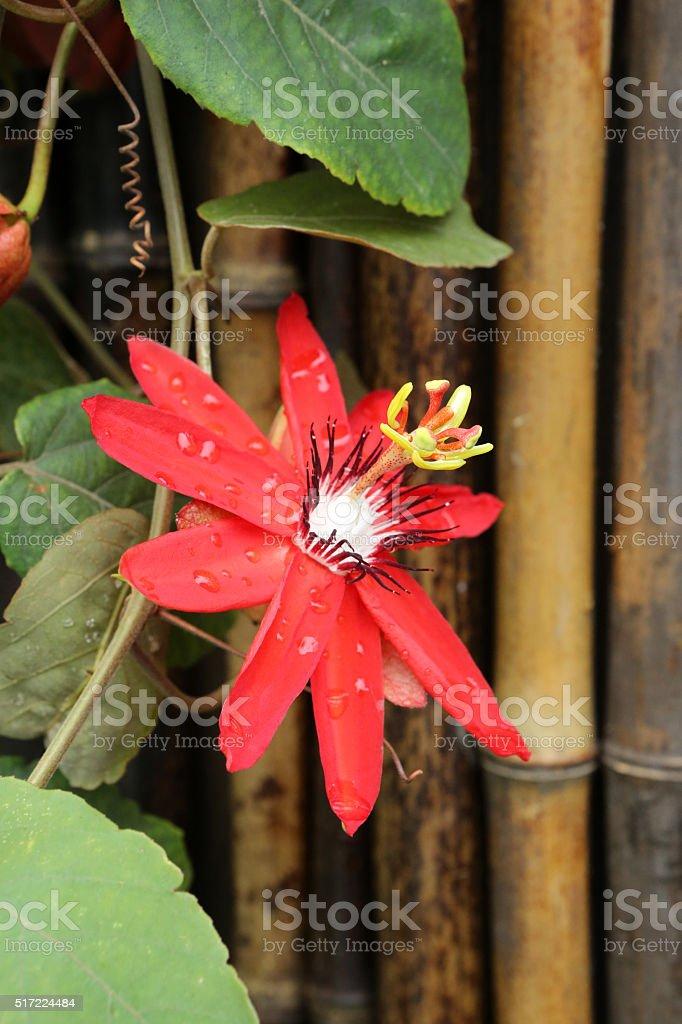 Passion Flower -Passiflora incarnata stock photo