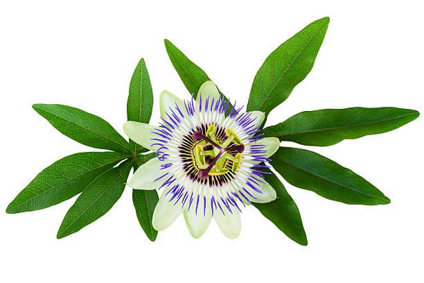 시계꽃 passiflora 격리됨에 클리핑 경로가 포함 - 시계꽃속 뉴스 사진 이미지