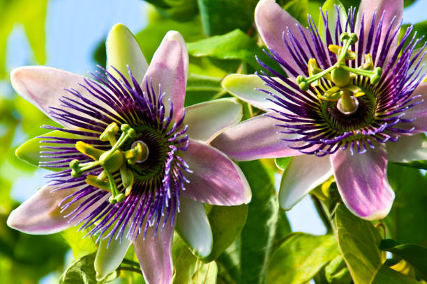 Passionsblume Passiflora – Foto
