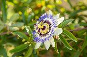 Nahaufnahme von einer Passionsblume