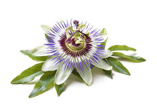 시계꽃 (passiflora - 시계꽃속 뉴스 사진 이미지