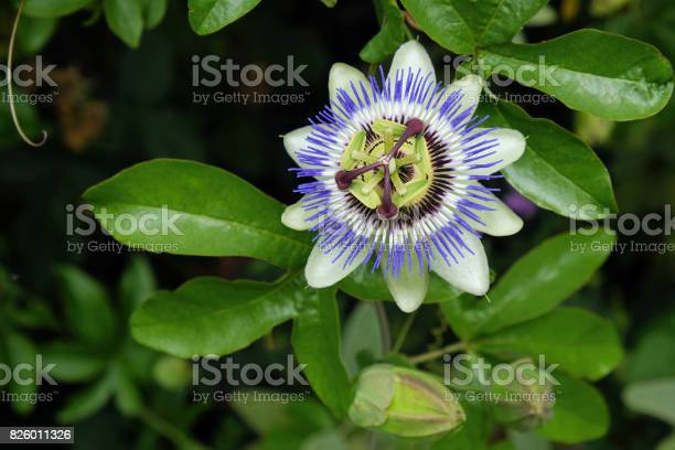 Passion flower picture id826011326?b=1&k=6&m=826011326&s=612x612&h=5bdbklgxwjg9aju73kx1ygfh7ueqq2awyof7yvf vy4=