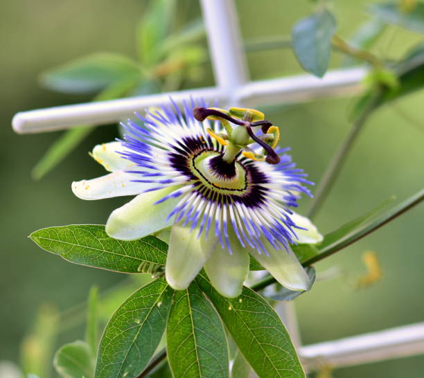 Passion flower – Foto