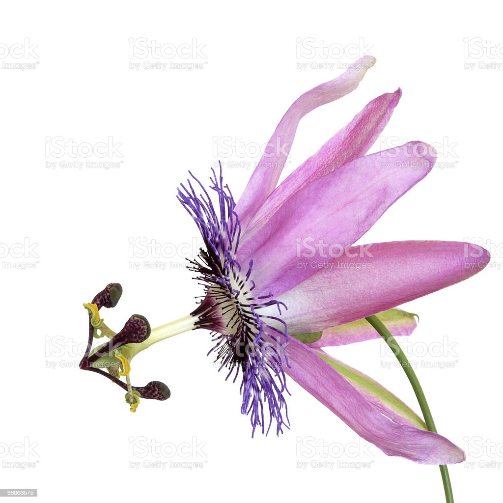 Passion Flower royalty-free stock photo