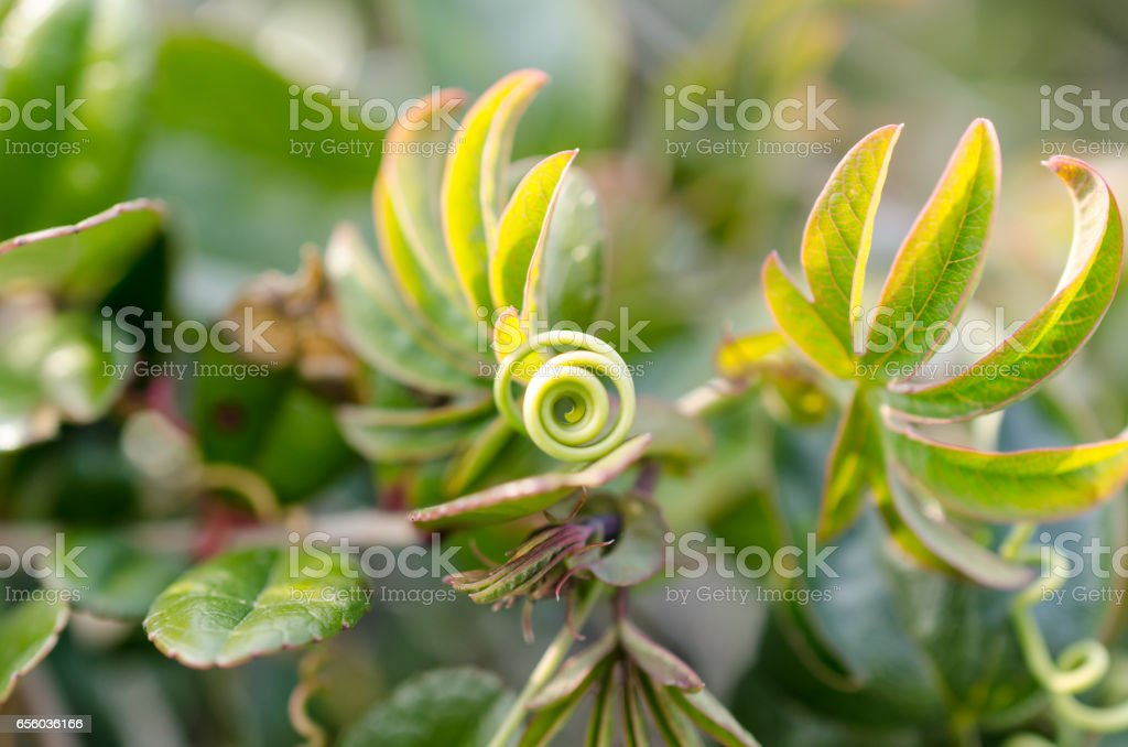 Passion Flower Tendril stock photo